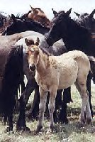 wild horses are being put up for adoption. contact the Bureau of Land Management at the link I have provided for more information.